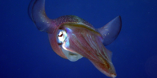 Phuket Dive Guide ; cuttle fish on the move